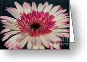 Watermelon Photo Greeting Cards - Lollipop Gerbera Greeting Card by Amanda Barcon