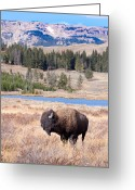 Montana Digital Art Greeting Cards - Lone Buffalo Greeting Card by Cindy Singleton