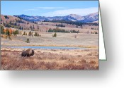 Buffalo Greeting Cards - Lone Bull Buffalo Greeting Card by Cindy Singleton