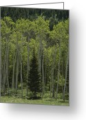 Refuges Greeting Cards - Lone Evergreen Amongst Aspen Trees Greeting Card by Raymond Gehman