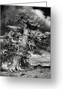 Survivor Greeting Cards - Lone gnarled old Bristlecone Pines at Crater Lake - Oregon Greeting Card by Christine Till