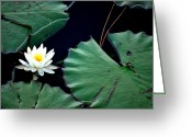 Lilly Pad Greeting Cards - Lone Lily Greeting Card by May Photography