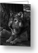 White Wolf Greeting Cards - Lone Wolf Greeting Card by Karol  Livote
