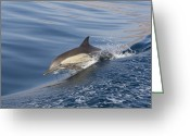 Side Saddle Greeting Cards - Long-beaked Common Dolphin Delphinus Greeting Card by Suzi Eszterhas