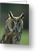 Long Eared Owl Greeting Cards - Long-eared Owl Asio Otus, Europe Greeting Card by Konrad Wothe