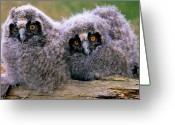 Long Eared Owl Greeting Cards - Long-eared Owl Asio Otus Two Owlets Greeting Card by Do Van Dijck