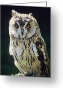 Long Eared Owl Greeting Cards - Long-eared Owl Greeting Card by David Aubrey