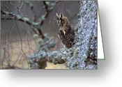 Long Eared Owl Greeting Cards - Long-eared Owl Greeting Card by Don Hooper