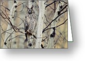 Long Eared Owl Greeting Cards - Long Eared Owl Perching In A Tree Greeting Card by Tim Fitzharris