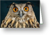 Long Eared Owl Greeting Cards - Long-eared Owl Greeting Card by Tony Mcconnell