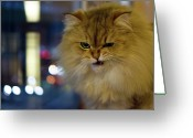 \\\\hair Color\\\\ Greeting Cards - Long-haired Cat Beside Window Greeting Card by Benjamin Torode