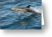 Side Saddle Greeting Cards - Longbeaked Common Dolphin Jumping Baja Greeting Card by Flip Nicklin