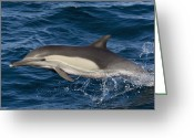 Side Saddle Greeting Cards - Longbeaked Common Dolphin Jumping Baja Greeting Card by Suzi Eszterhas
