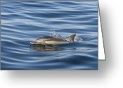 Side Saddle Greeting Cards - Longbeaked Common Dolphin Surfacing Greeting Card by Suzi Eszterhas