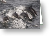 Side Saddle Greeting Cards - Longbeaked Common Dolphins Jumping Baja Greeting Card by Flip Nicklin