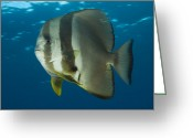 Saltwater Fish Greeting Cards - Longfin Spadefish, Papua New Guinea Greeting Card by Steve Jones