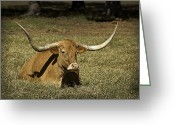 Cows Framed Prints Greeting Cards - Longhorn Cow Resting In Grass Greeting Card by M K  Miller