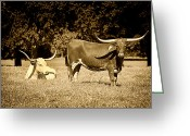 Cows Framed Prints Greeting Cards - Longhorn Cows Rsting in Monochrome Greeting Card by M K  Miller