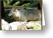 Nature And Wolves Greeting Cards - Look From The Den Greeting Card by Debra     Vatalaro