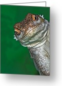 Animal Head Greeting Cards - Look Reptile, Lizard Interested By Camera Greeting Card by Pere Soler