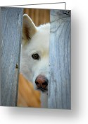Sled.fence Greeting Cards - Lookin At You Greeting Card by Joye Ardyn Durham