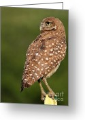 Owls Bird Of Prey Greeting Cards - Looking Back Greeting Card by Sabrina L Ryan