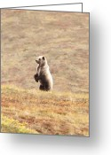 American Brown Bear Greeting Cards - Looking Beyond 2 Greeting Card by Dora Miller
