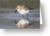 Sandpiper Greeting Cards - Looking for Breakfast Greeting Card by Tim Grams