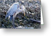 Fishers Greeting Cards - Looking for Lunch Greeting Card by Marilyn Holkham