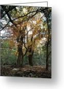 Changing Colors Greeting Cards - Lost Maples State Park Tree 41 Greeting Card by Karen Musick