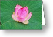 Lotus Leaves Greeting Cards - Lotus Bud Greeting Card by Elvira Butler