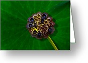 Lotus Seed Pod Greeting Cards - Lotus Pod Greeting Card by Chris Lord