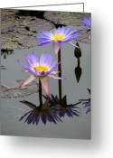 Purple Floral Greeting Cards - Lotus Reflection 4 Greeting Card by David Dunham