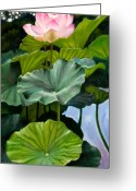 Lotus Greeting Cards - Lotus Rising Greeting Card by John Lautermilch