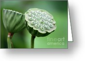 Lotus Seed Pod Greeting Cards - Lotus Seed Pods Greeting Card by Sabrina L Ryan