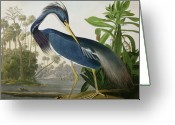 Heron Greeting Cards - Louisiana Heron Greeting Card by John James Audubon