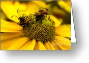 Beetles Greeting Cards - Love Bugs Greeting Card by Heather Applegate