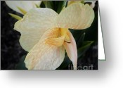 Canna Greeting Cards - Love Child Greeting Card by D J Larsen