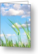 Wispy Greeting Cards - Lovely image of young barley against an idyllic blue sky Greeting Card by Tom Gowanlock