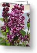 Fragrant Flowers Greeting Cards - Lovely Lilacs Greeting Card by Carol Groenen