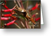 S. California Greeting Cards - Loving Red Nectar Greeting Card by Carl Jackson