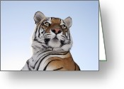 Head Of State Greeting Cards - Low Angle View Of A Tiger (panthera Tigris) With Blue Skies Behind Tiger Canyon Philippolis, Free State Province, South Africa Greeting Card by JV Images