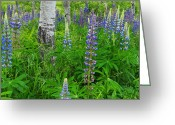 Desert Island Greeting Cards - Luminous Lupines and Aspen Trunk Greeting Card by Thomas Schoeller