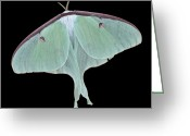 Art On Wall Greeting Cards - Luna Moth Greeting Card by Paul Ward
