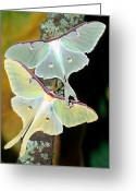 Animalia Greeting Cards - Luna Moths Greeting Card by Millard H Sharp and Photo Researchers