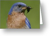 Wild-life Greeting Cards - Lunch Time Blues Greeting Card by Robert Pearson
