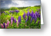 Lupine Greeting Cards - Lupin flowers in Newfoundland Greeting Card by Elena Elisseeva