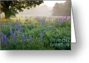 Lupines Greeting Cards - Lupine Field Greeting Card by Susan Cole Kelly
