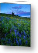 Hillside Greeting Cards - Lupine Sunset Greeting Card by Mike  Dawson