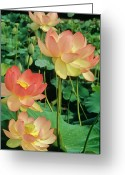 Lotus Leaves Greeting Cards - Luscious Lotus Greeting Card by Elvira Butler